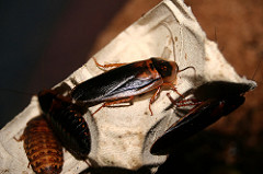 IHOP: International House of Roaches